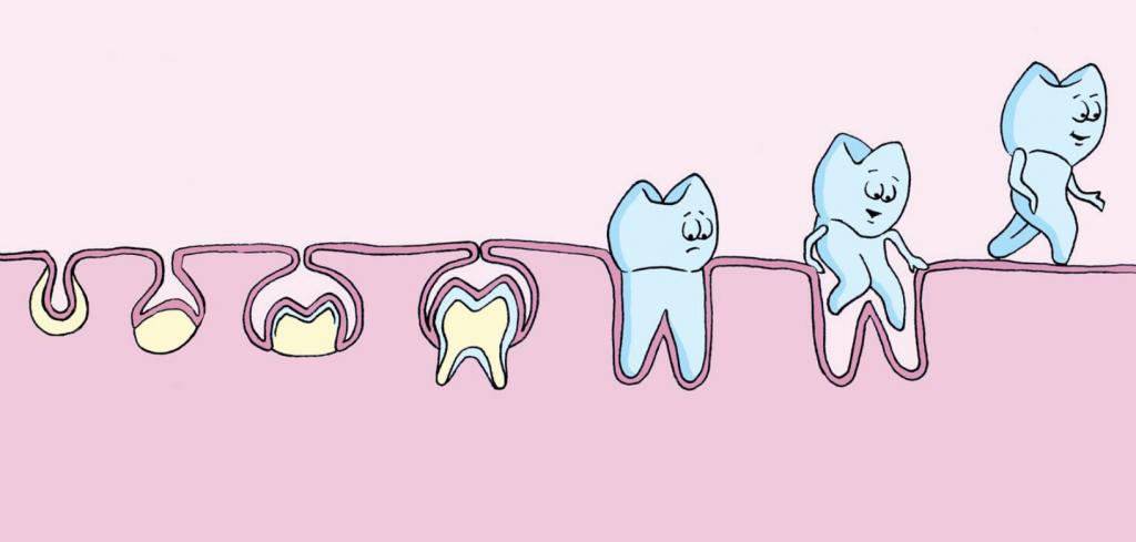 Teeth Development