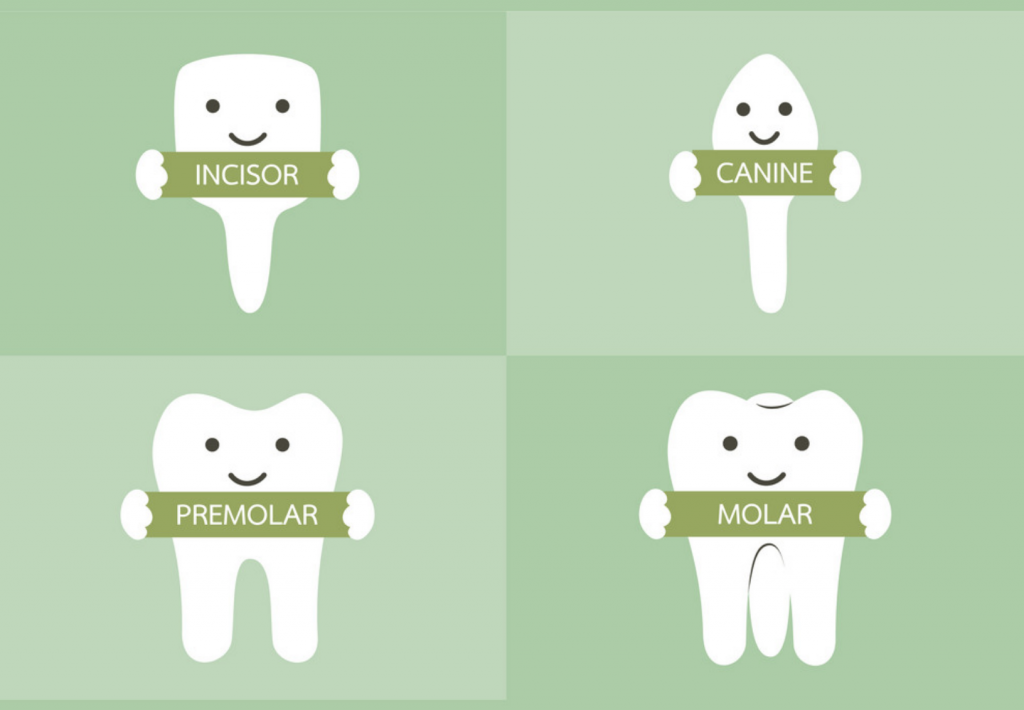 Types Molars, Canine, Incisors